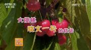 大樱桃晓文一号的栽培