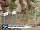 青岛海水稻试种