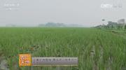 稻田养鸭种养结合生产技术