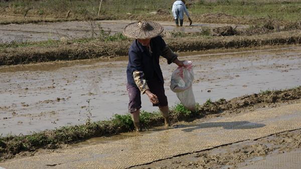 再生稻:两季粮食亩产超过2000斤