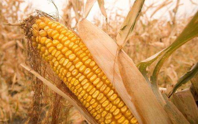 新玉米即将上市 长期看玉米市场将迎来利好