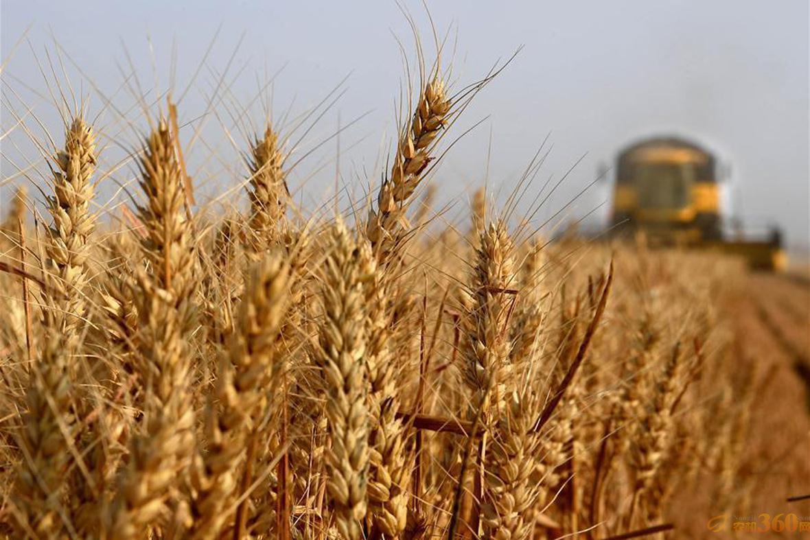河南浚县中鹤现代农业示范园区麦田的小麦.