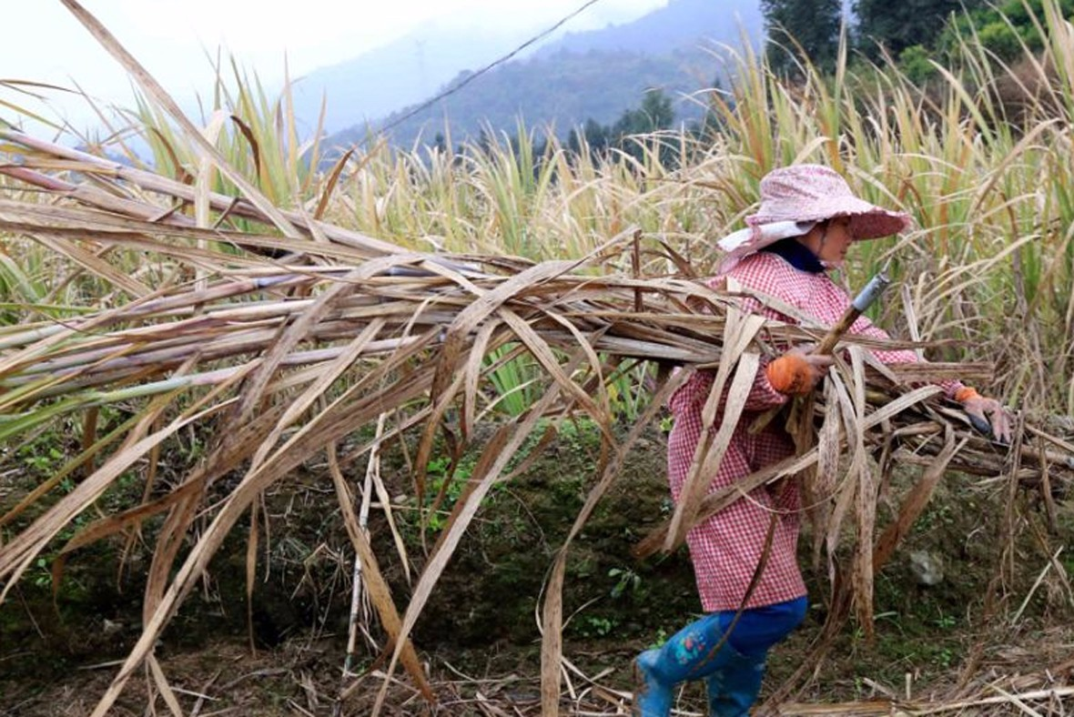 当地各族群众抢抓农时,砍运甘蔗。