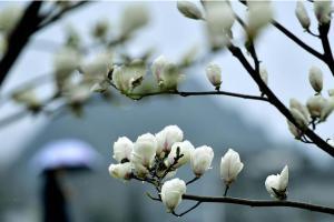 这是3月19日在松坪村拍摄的玉兰花。早春时节,地处湖北省西部山区的宣恩县沙道沟镇松坪村玉兰花竞相绽放,一派春意盎然的景象。