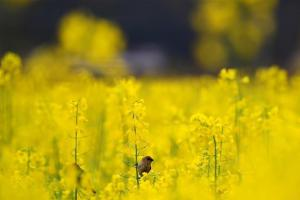3月19日,几只麻雀在浏阳市达浒镇的油菜花田间休憩。早春时节,湖南省浏阳市达浒镇的油菜花竞相绽放,一派春意盎然的景象。