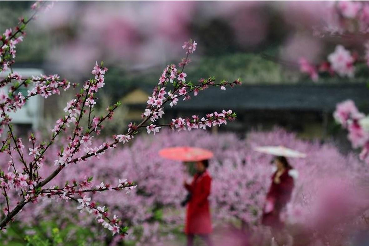 3月19日,游客在楚东村的桃林冒雨赏景。早春时节,湖南省浏阳市大围山镇楚东村的桃花竞相绽放,一派春意盎然的景象。
