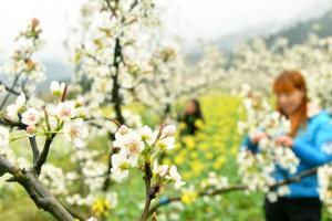 3月19日,在湖南省邵阳市城步苗族自治县儒林镇,农民在为梨树疏花。春分将至,各地陆续进入春耕春播春管的农忙时节。