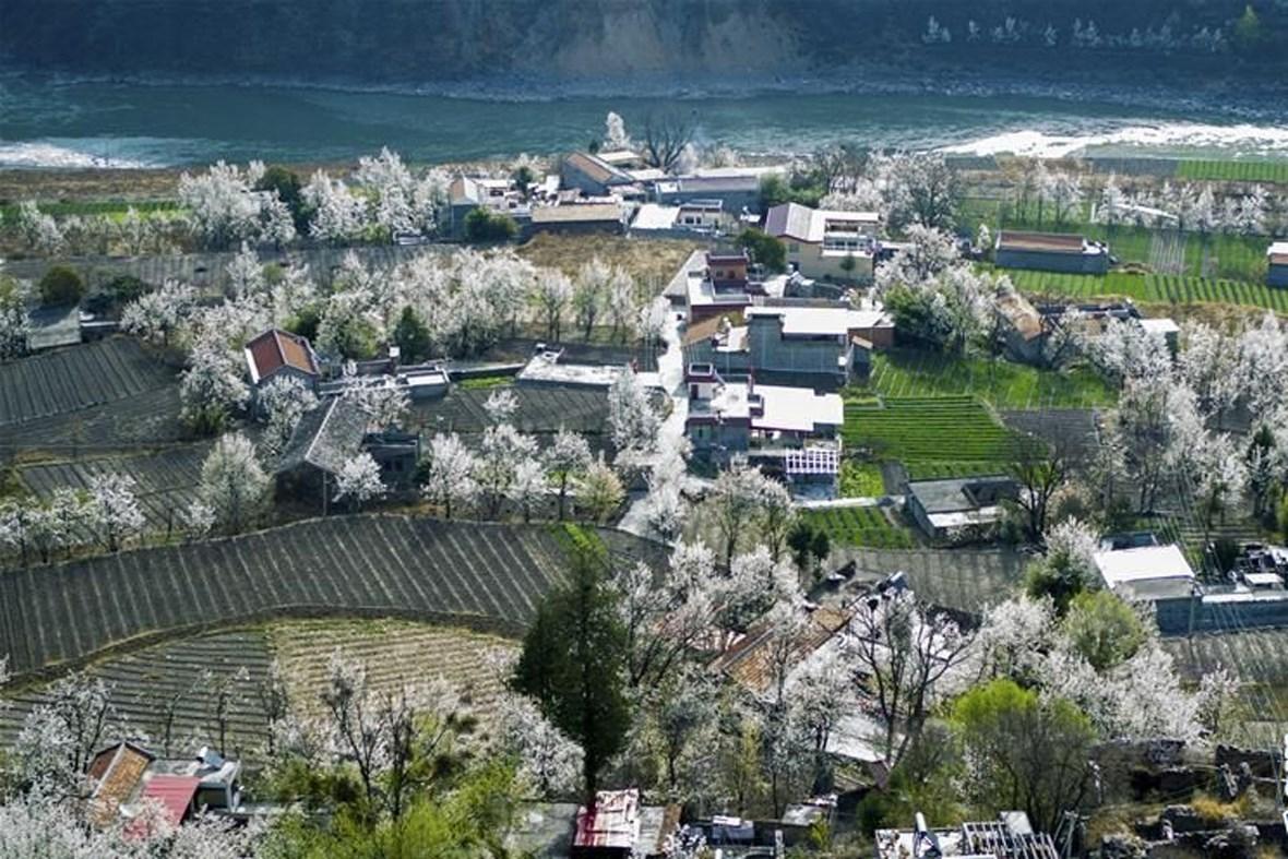 这是3月20日在四川省金川县咯尔乡金江村拍摄的梨花和村庄(无人机拍摄)。近日,四川省金川县十万余株梨树进入花期,吸引众多游客前往观赏。