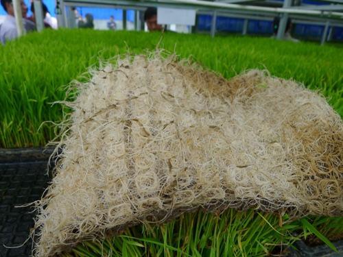 """水稻轻型无土基质育秧技术: 秸秆""""变""""基质环保又增效"""
