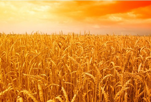 国家粮食局:小麦已进入收购高峰期 最低收购价1.18元/斤