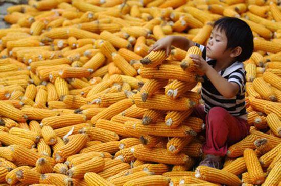 玉米:市场化改革需要政策市红利