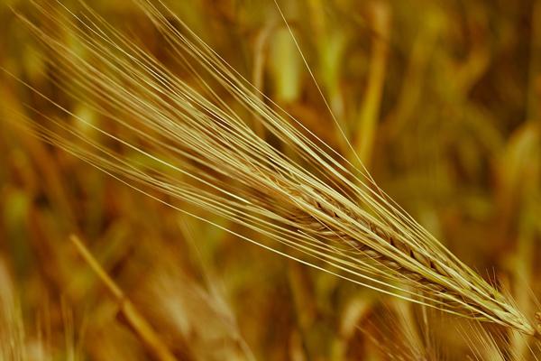 2017年夏粮收购已结束 主产区累计收购小麦7206万吨