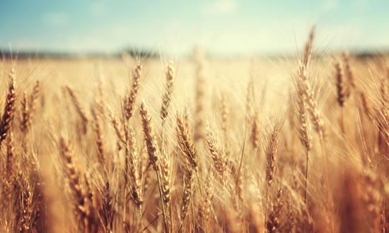 小麦市场价格后期上涨空间不大