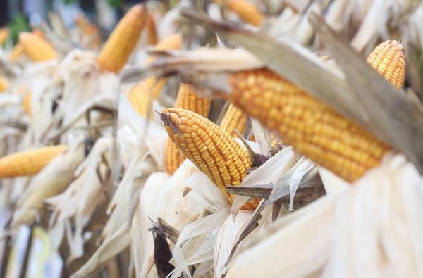 深加工企业提价收购 玉米保持强势