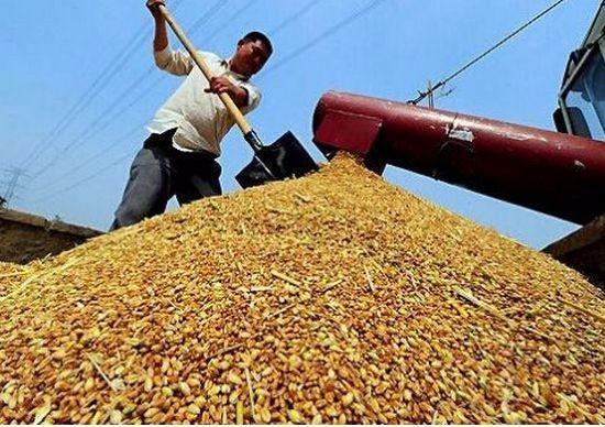 全国小麦均价明显下滑 夏粮防寒防病是关键