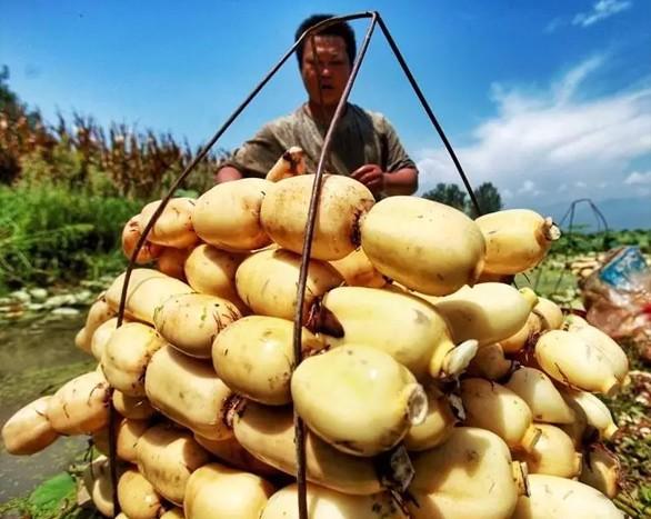 新采莲藕机研发成功了,莲藕收获率达98%!