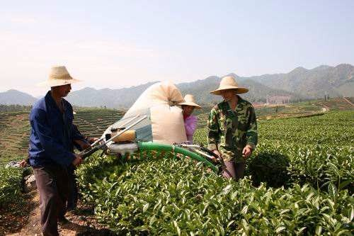 机械化采茶推广为何这么难?