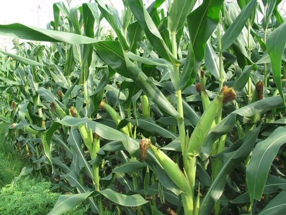 玉米供过于求状态未改 扩种需谨慎