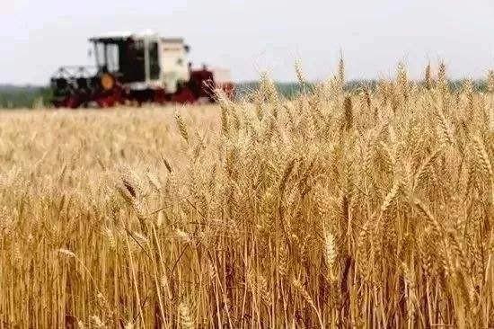 颓势重现 天气终成压弯小麦的最后一根稻草