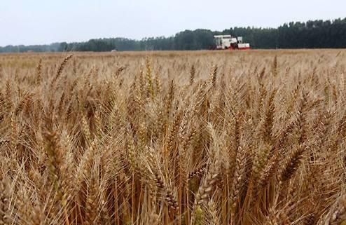河北冬小麦开始收获