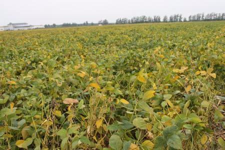 夏种作物:明年大豆价格有望上涨