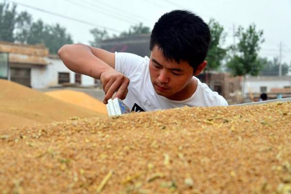 农发行 1200亿元信贷资金支持夏粮收购