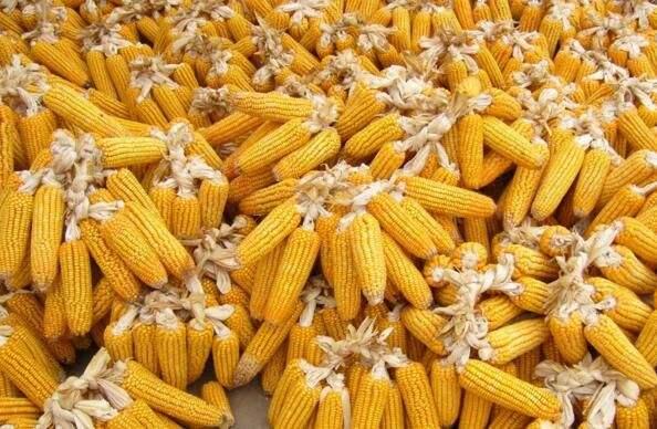 国内玉米价格跌至年内低点 7月或小幅上调