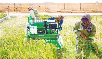 中国农业科学家在阿联酋沙漠中种出海水稻