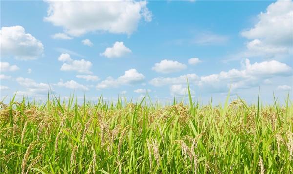 早稻每亩亏损近400元 粮农积极性受挫
