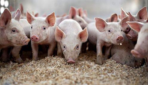 猪价短暂涨跌互现生猪供应总体宽松