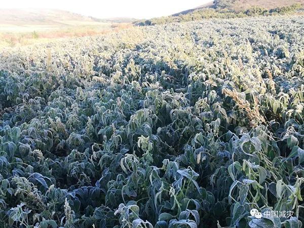 内蒙古黑龙江部分地区遭受低温冻害 农作物受灾361.5千公顷