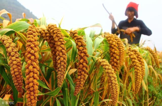 内蒙古主产区谷子上市 种植面积下滑价格提升