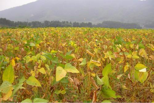 大豆种业:挑战与机遇并存