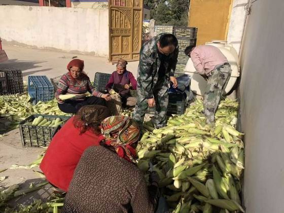 订单玉米丰收忙 农民增收乐开花