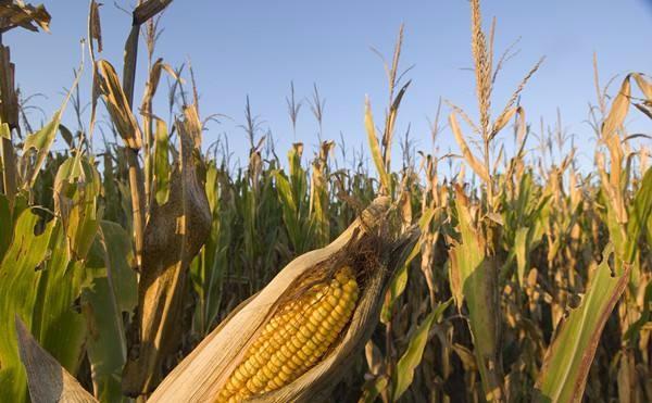 秋粮上市在即 今年秋粮收购政策有哪些新变化