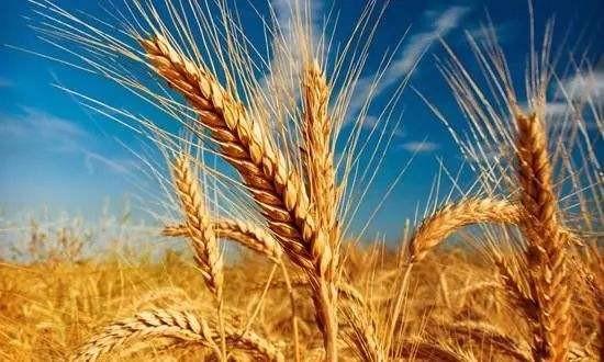市场化收购占主导后期小麦市场总体平稳
