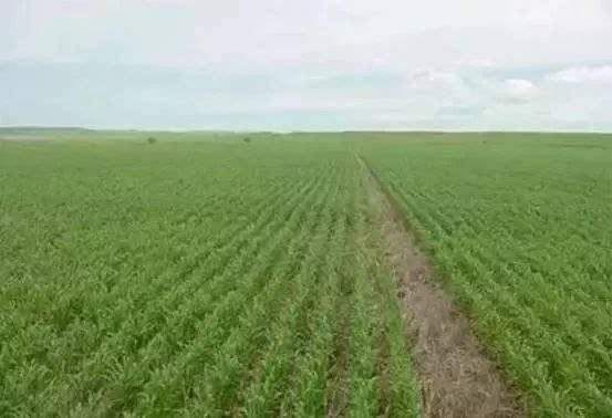 专家提醒:冬小麦要防旺长促分蘖