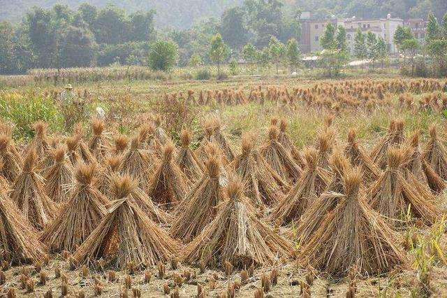 稻田秸秆还田温室气体排放量被高估50%