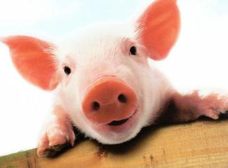 专家分析认为——节后猪肉行情仍将低迷