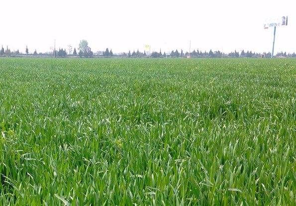 全国冬小麦春季田间管理技术指导意见