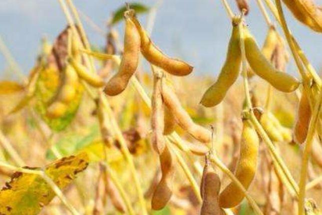 玉米、大豆补贴政策逐渐明晰 今年行情如何?