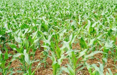 2019年玉米重大病虫害防控技术方案