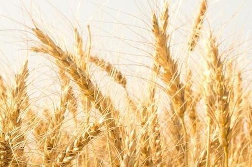 联合国粮农组织预计2019年全球谷物产量将创历史新高