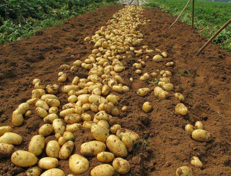 2019年全国马铃薯生产技术指导意见