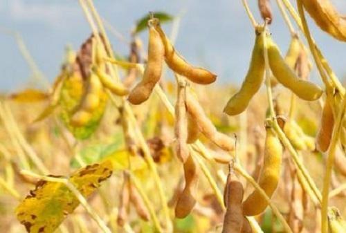安徽省2019年夏大豆、夏花生生产技术指导意见的通知