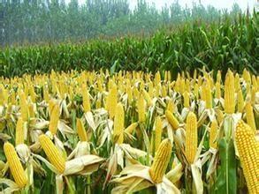 黄淮海夏玉米生产技术指导意见