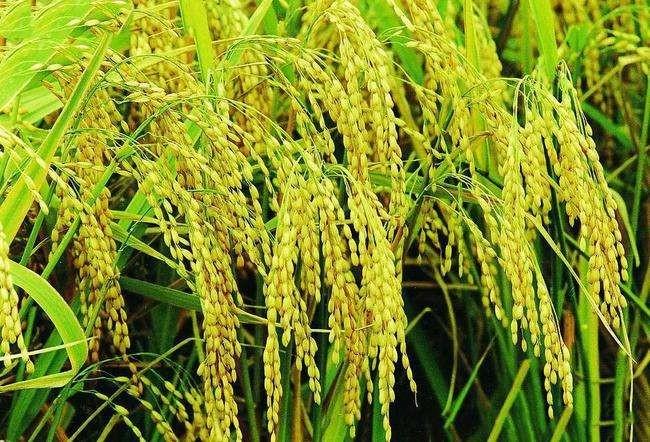 长江中下游一季稻中后期田间管理技术意见