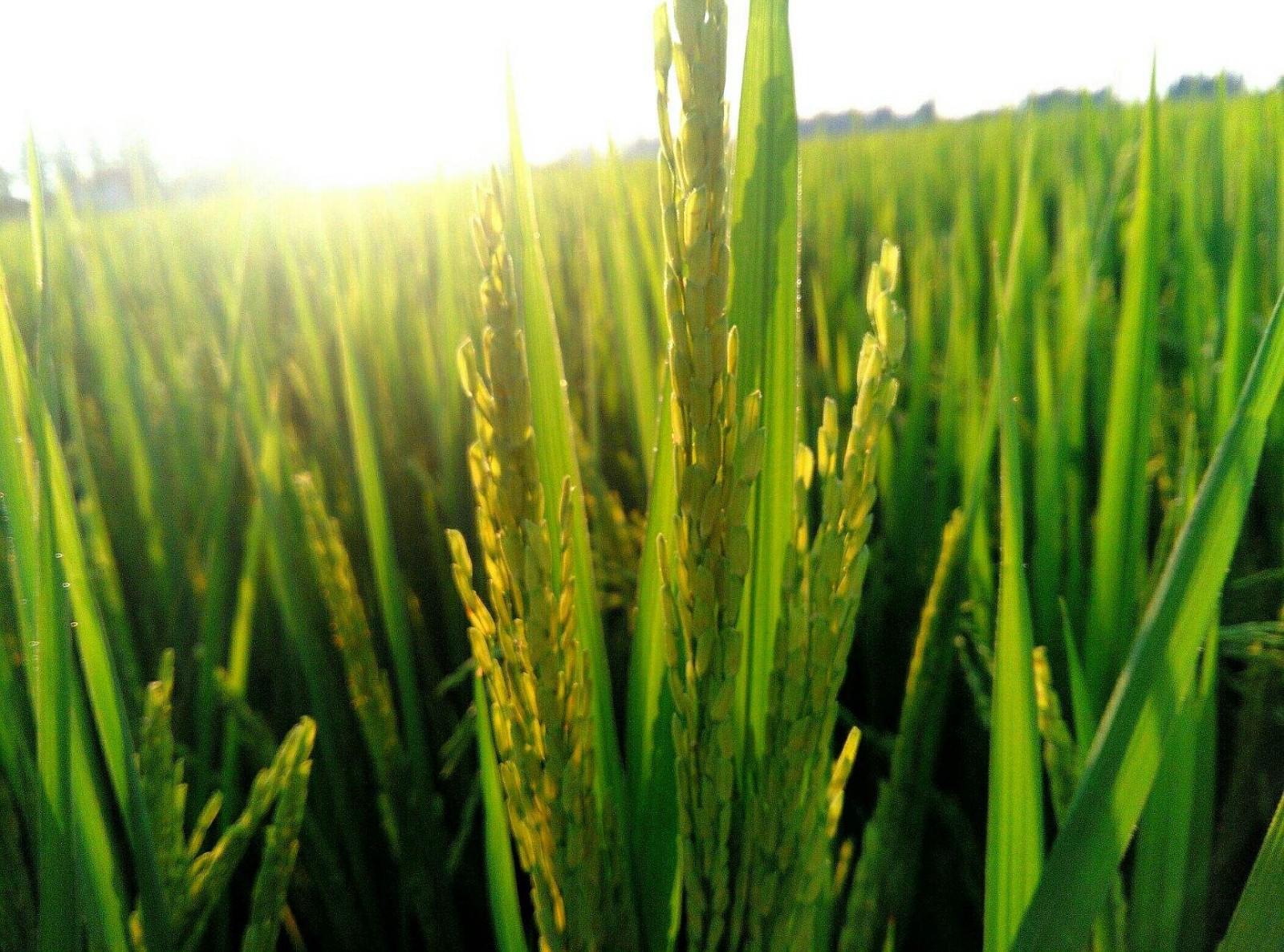 西南地区一季稻中后期田间管理技术意见