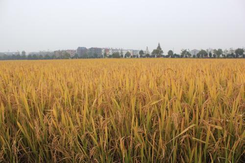 南方双季晚稻生产技术指导意见