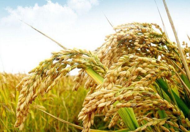东北地区水稻中后期田间管理技术意见